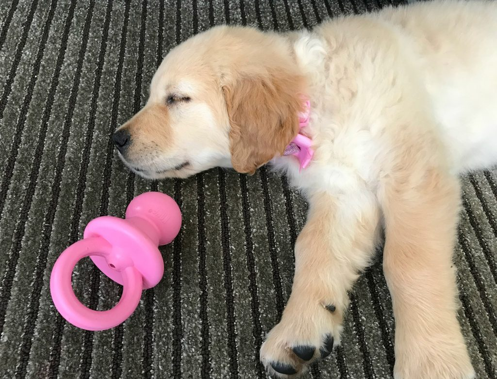 New Puppy Essentials Golden Retiever