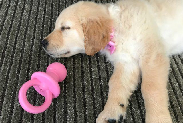 New Puppy Essentials Golden Retiever